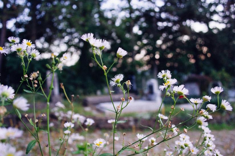 cemetery_camomile