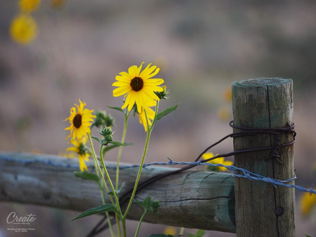 Sunflower_Tablet